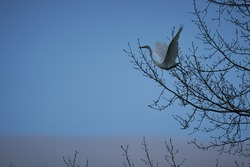 The beautiful wading bird, the great egret, in latin Ardea alba, also known as the common egret, large egret, or great white egret leaving tree with open wings in early morning before sunrise.