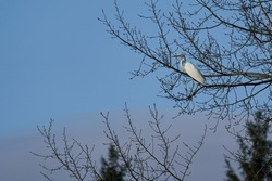 The beautiful wading bird, the great egret, in latin Ardea alba, also known as the common egret, large egret, or great white egret sitting on the tree without leaves in the early spring sunrise.