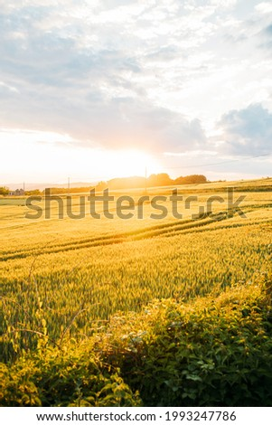 The beautiful wallpaper of the barley field at sunset