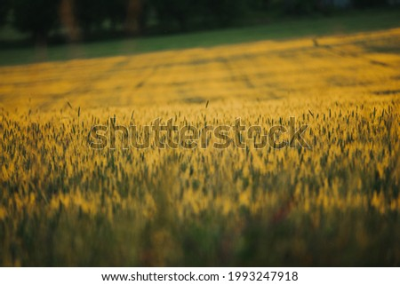 The beautiful wallpaper of the golden barley field at sunset