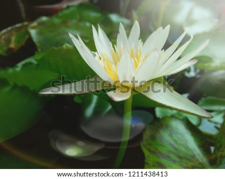 The beautiful water lily.This picture use photo editor.