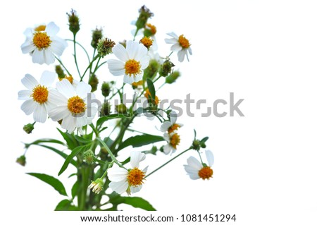 The beautiful white color flowers, yellow color pollen of Spanish needles or Bidens alba found in tropical and subtropical regions. Photo isolated on white background with space for text.