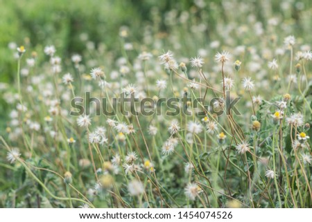 The beautiful white flowers with yellow pollen or Bidens pilosa Background blurry.
