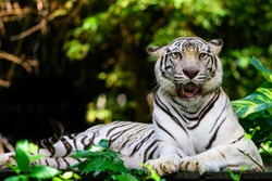 The Beautiful White Tiger resting and looking in Dusit zoo, Bangkok, Thailand.