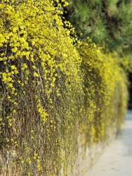 The beautiful yellow winter jasmine flowers are blooming in the garden. Jasminum nudiflorum is native to China. Due to its blossom peaks right after winter, it's also named Yingchun in Chinese.