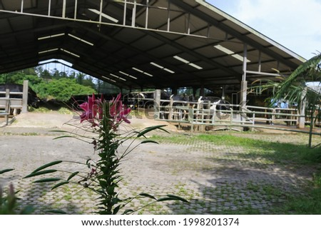 the beautifull flower against the backdrop of a cowshed, a cow in a clean iron barn. very healthy and fat cows are eating fresh green grass so that the milk produced is also healthy and of good qualit Foto stock ©