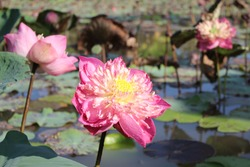 The beauty of a large pink lotus flower in a natural pond reflects the warm sunlight in the morning
