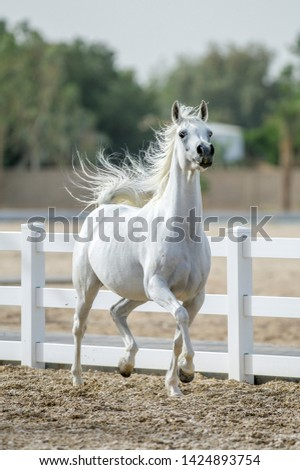 The beauty of Arabian horses