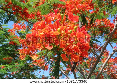 The beauty of red flowers, blue background,Peacock flower #1091773340