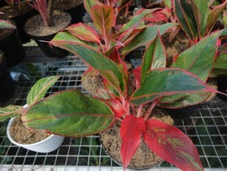 The beauty of some Aglonema red siam in their pots