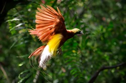 the beauty of the bird of paradise - cendrawasih