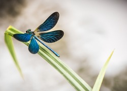 the beauty of the blue dragonfly on the lake