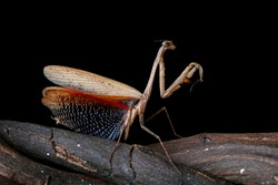 the beauty of the form of self defense mantis by other insect attacks, Asian brown praying mantis self defense on branch