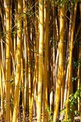 The beauty of the Golden bamboo With golden stems and green leaves. Popular to decorate the garden because it is a golden bamboo And beautiful yellow Look more unusual than the typical bamboo.