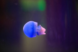 The beauty of the jellyfish in the aquarium