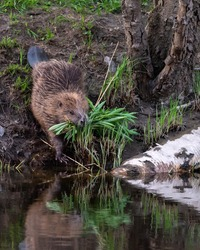 The beaver (Castor fiber) is Sweden's largest rodent. It has brown fur. The tail is hairless and flat. Collects food, reeds, on land and is on its way down to the calm water.