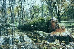 The beavers piled up a huge aspen on the banks of the natural basin. There are traces of wide teeth on the thick trunk. Animals felled trees for feeding bark and dam construction. Renewal of forest