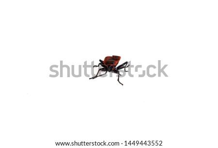 the bedbug soldier or Pyrrhocoris apterus. macro mode. isolated
