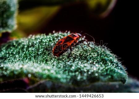 the bedbug soldier or Pyrrhocoris apterus sits on the edge of the leaf. macro mode