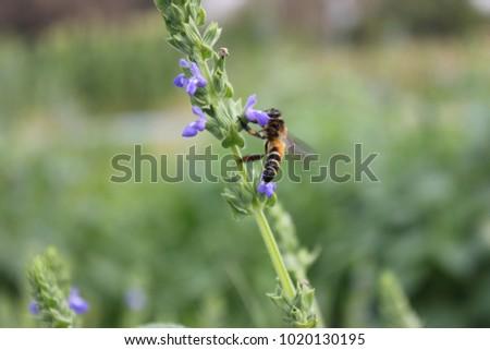 The bee collecting chia pollen (Salvia hispanica L.) on the purple ...