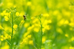 The bee collects honey on a rape flower
