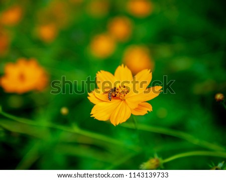 The bee on flower,many common names, Sulfur Cosmos, Orange cosmos, Yellow Cosmos, Yellow Star Flower blooms during summer in the public park garden. selective focus,blurry green field background.