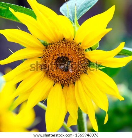 the bee pollinating the flower of a sunflower closeup. botany and vegetation #1565946076