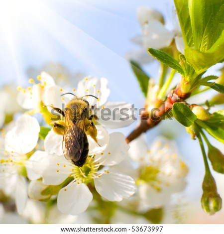 The bee sits on a flower of a bush blossoming apple-tree and pollinates him - stock photo