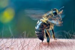 The bee stings into human skin. Extreme macro image