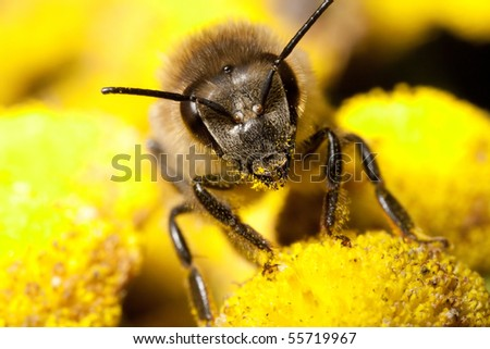 the bee with the pollen on its head and legs - stock photo