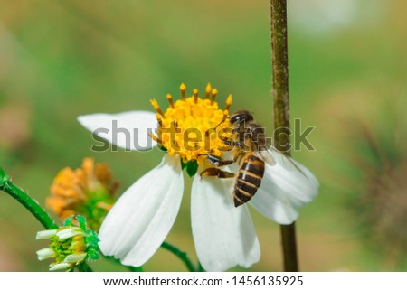 The bees are on Bidens pilosa that is blooming in nature.