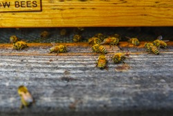 The bees at front hive entrance macro close up. Bee flying to hive. Honey bee entering the hive. Hives in an apiary with working bees flying to the landing boards Honey Bees at front hive entrance clo