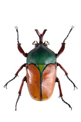 The beetle on the white background