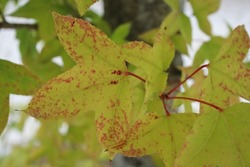 The beginning of autumn, deciduous tree leaves start to change color because of chlorophylls degrade into flavonoid. In photo: Formosana sweet-gum (Liquidambar formosana).