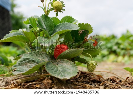 The beginning of the strawberry season. A strawberry bush with ripe and green fruit in the garden. Leaves naturally dirty from the ground, rows of strawberries in the background.
