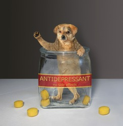 The beige dog tie is inside a medical glass jar with a inscription antidepressant. There are some yellow pills next to him.