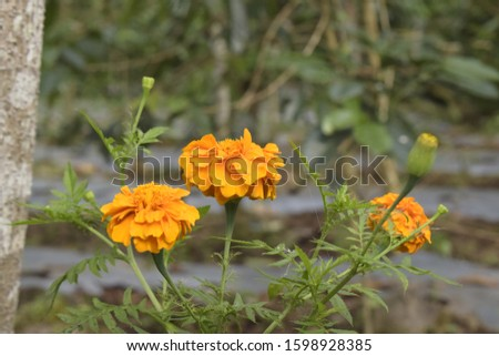 The benefits of chicken droppings are huge. Indonesian people use chicken droppings (tagetes) to treat respiratory tract infections, anti-inflammatory, thinning phlegm