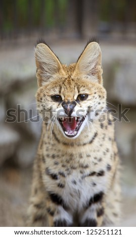 The bengal cat is angry