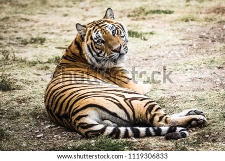 The Bengal tiger Stok fotoğraf ©