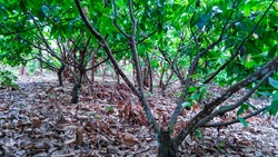 the best natural scenery with the best nuances of the cacao trees