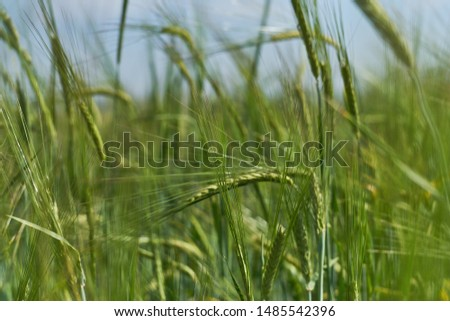 the best photo with a wheat field in the sun, an eco farm for the farmers market, natural food for a healthy lifestyle