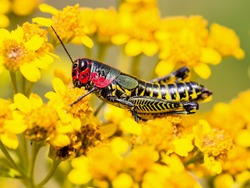 The bicolor grasshopper, also known as the rainbow grasshopper, painted grasshopper, or the barber pole grasshopper, is a species of grasshopper. It is native to North America and northern Mexico.