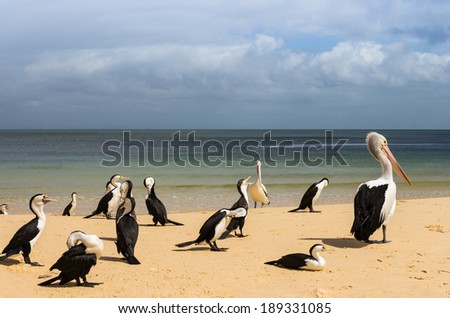 The big Australian pelicans stand and sit  on the beach