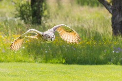 The big bird Owl flies low above the ground. The owl has outstretched wings. The weather is sunny, the green grass is partially cut in the meadow.