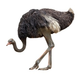 the big black ostrich is isolated on a white background