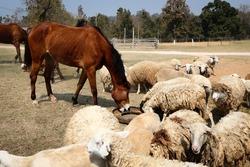 The big brown horse are scrambling food of flocks sheep.