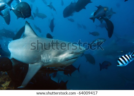 The big Bull shark from Pacific ocean at 30 meters depth