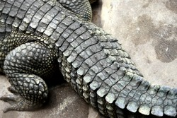 The big crocodile in the farm