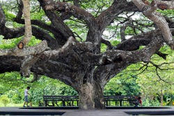 The big Giant Monky Pod Tree, The giant jamjuree has beautiful branches in Thailand