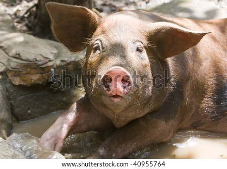 The big good-natured pig lies in a puddle